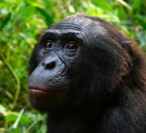 bonobo, singe, socialiste, socialisme, féminisme, pacifisme, folisophes,patriarcat, matriarcat, pensée ambiante, anglo-saxons, amérique